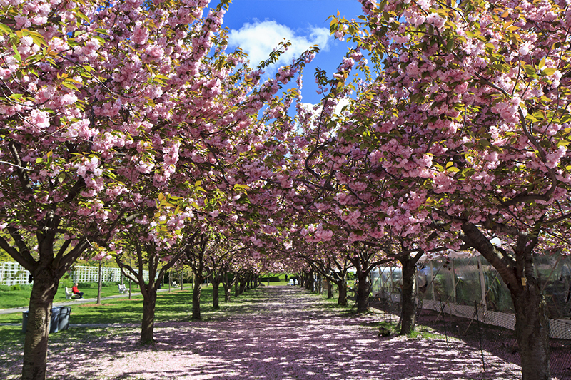 See cherry blossoms in korea america and europe kayak in for Hotels near brooklyn botanical garden